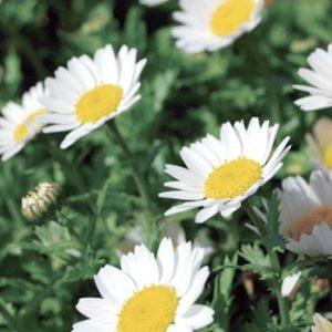 pb_chrysanthemum