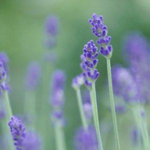 sl_lavender